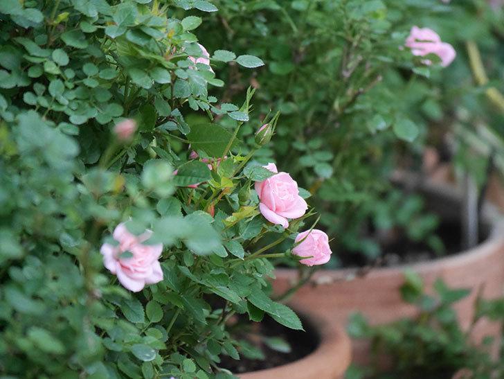 ミスピーチ姫(Miss Peach-hime)の花が増えてきた。ミニバラ。2021年-026.jpg