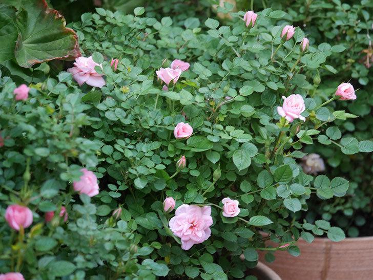 ミスピーチ姫(Miss Peach-hime)の花が増えてきた。ミニバラ。2021年-027.jpg