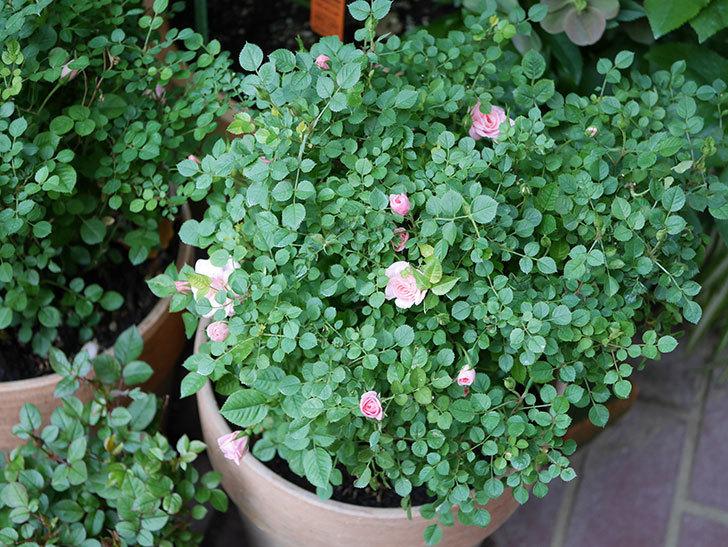 ミスピーチ姫(Miss Peach-hime)の花が増えてきた。ミニバラ。2021年-028.jpg