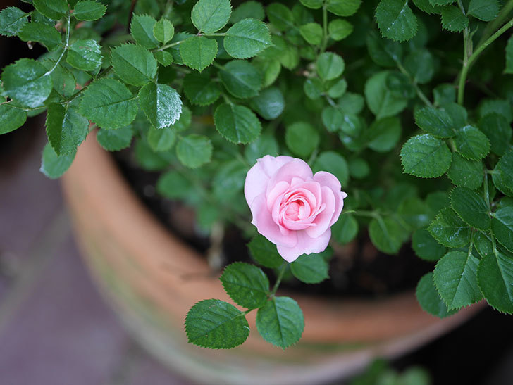 ミスピーチ姫(Miss Peach-hime)の花が増えてきた。ミニバラ。2021年-029.jpg