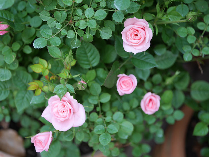 ミスピーチ姫(Miss Peach-hime)の花が増えてきた。ミニバラ。2021年-030.jpg
