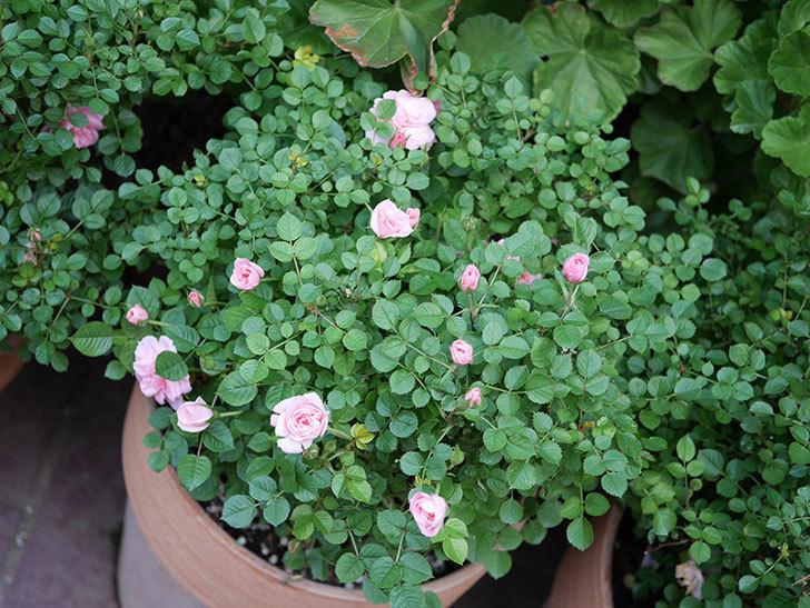 ミスピーチ姫(Miss Peach-hime)の花が増えてきた。ミニバラ。2021年-031.jpg