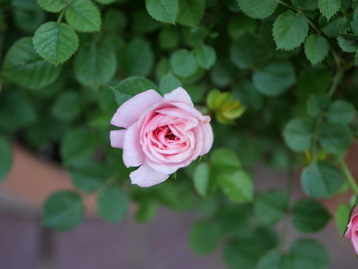 ミスピーチ姫(Miss Peach-hime)の花が増えてきた。ミニバラ。2021年-033.jpg