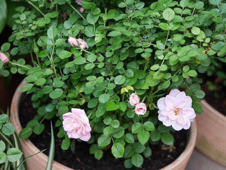 ミスピーチ姫(Miss Peach-hime)の花が少しずつ増えてきた。ミニバラ。2021年-019.jpg