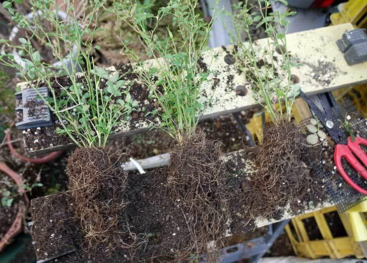 ミスピーチ姫(ミニバラ-)3鉢を植え替えた。2016年-1.jpg