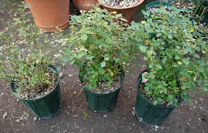 ミスピーチ姫(ミニバラ-)3鉢を植え替えた。2016年-2.jpg