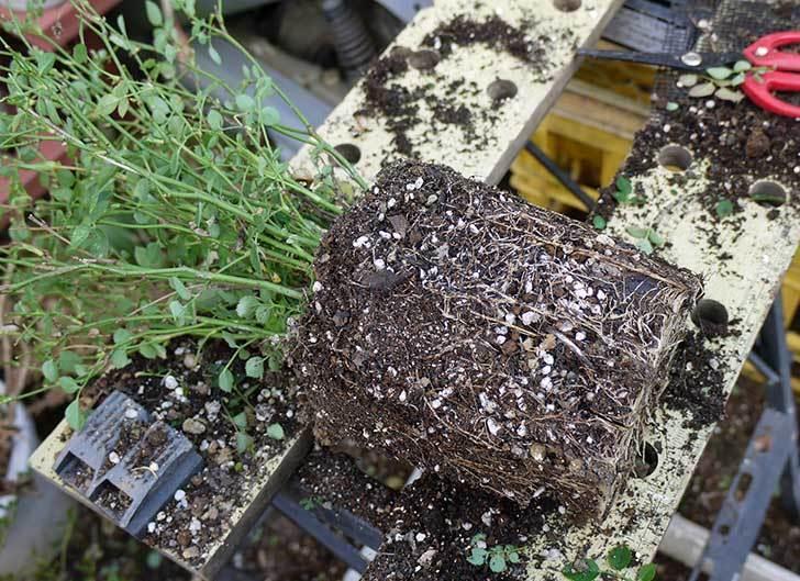 ミスピーチ姫(ミニバラ-)3鉢を植え替えた。2016年-3.jpg