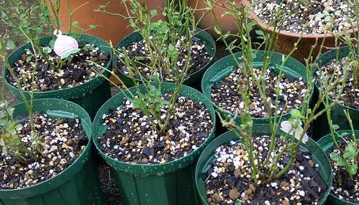 ミスピーチ姫(ミニバラ-)3鉢を植え替えた。2016年-7.jpg
