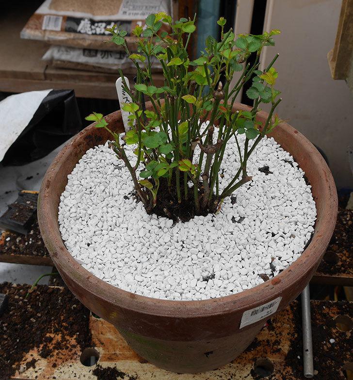 ミスピーチ姫(ミニバラ-)の6号鉢の植え替えをした。2019年-6.jpg