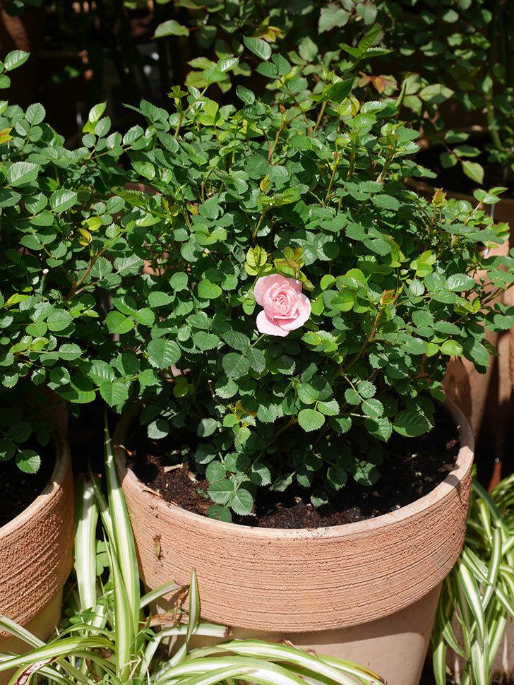 ミスピーチ姫(ミニバラ)に2個目の花が咲いた。2020年-4.jpg