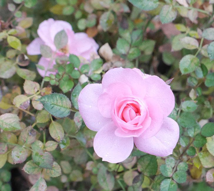 ミスピーチ姫(ミニバラ)に大きめの花が咲いた。2019年-1.jpg