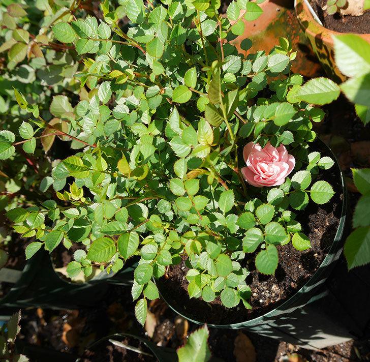 ミスピーチ姫(ミニバラ)の2個目の花が咲いた。2018年-3.jpg