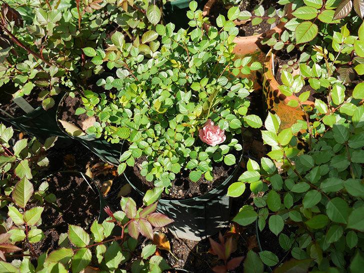 ミスピーチ姫(ミニバラ)の2個目の花が咲いた。2018年-4.jpg