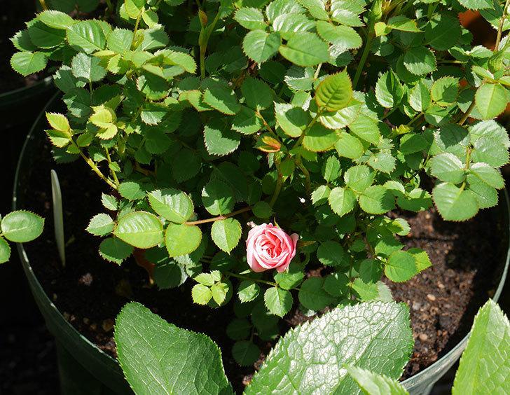 ミスピーチ姫(ミニバラ)の2個目の花が咲いた。2018年-5.jpg