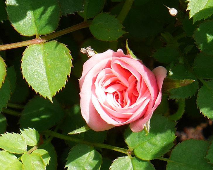ミスピーチ姫(ミニバラ)の2個目の花が咲いた。2018年-6.jpg