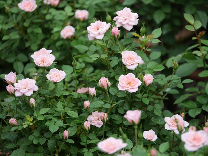 ミスピーチ姫(ミニバラ)の2番花が咲いた。2019年-1.jpg