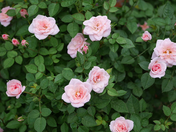 ミスピーチ姫(ミニバラ)の2番花が咲いた。2019年-10.jpg