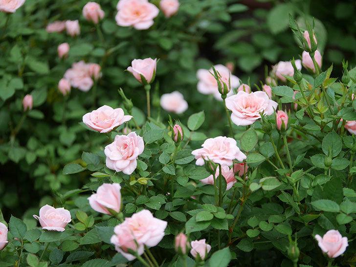 ミスピーチ姫(ミニバラ)の2番花が咲いた。2019年-2.jpg