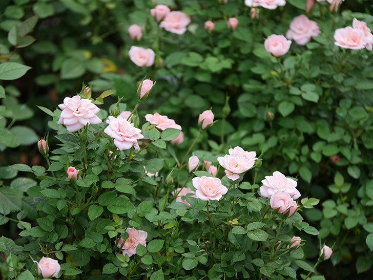 ミスピーチ姫(ミニバラ)の2番花が咲いた。2019年-3.jpg
