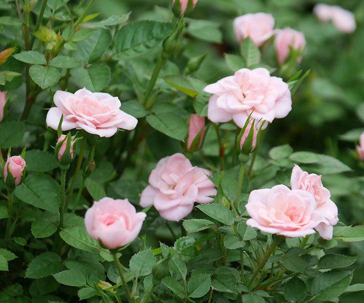 ミスピーチ姫(ミニバラ)の2番花が咲いた。2019年-4.jpg