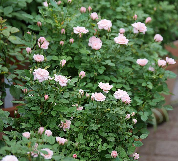 ミスピーチ姫(ミニバラ)の2番花が咲いた。2019年-5.jpg