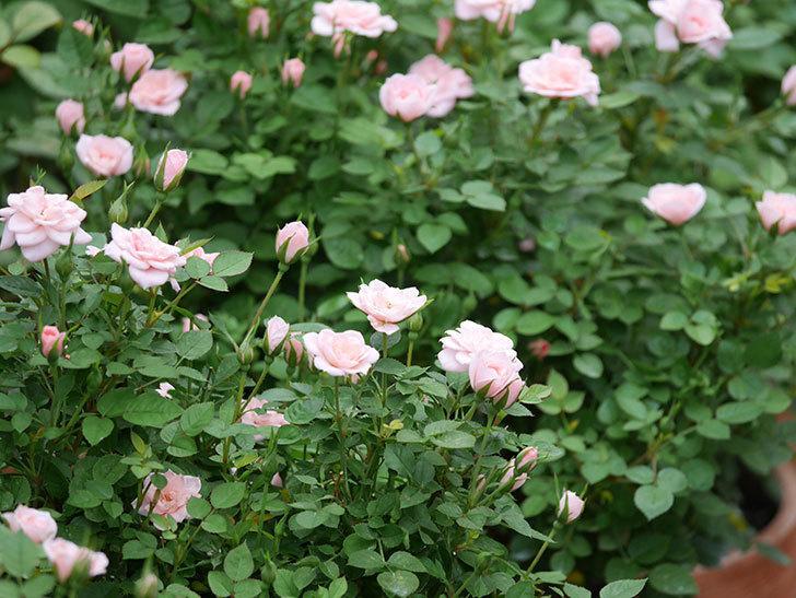 ミスピーチ姫(ミニバラ)の2番花が咲いた。2019年-6.jpg