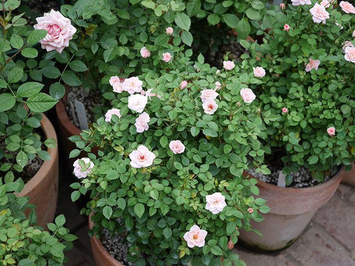 ミスピーチ姫(ミニバラ)の2番花が咲いた。2019年-7.jpg