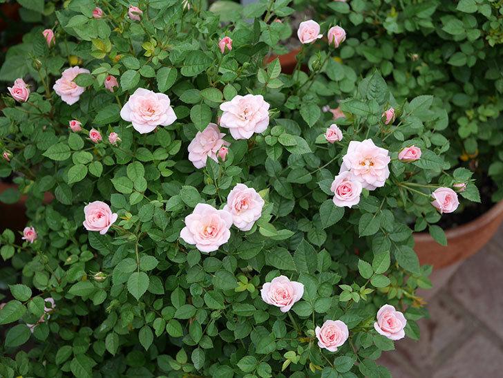 ミスピーチ姫(ミニバラ)の2番花が咲いた。2019年-9.jpg