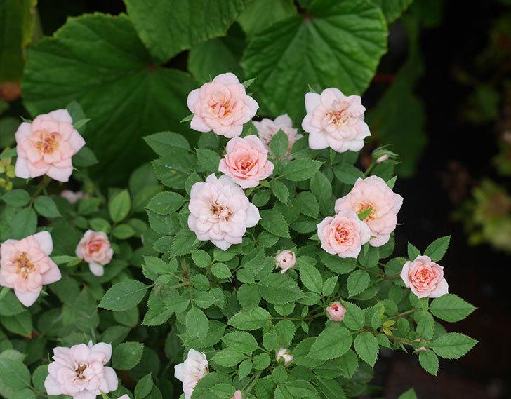ミスピーチ姫(ミニバラ)の夏花が咲いた。2018年-1.jpg