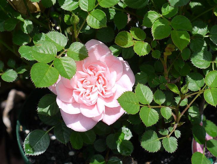ミスピーチ姫(ミニバラ)の花が1個咲いた。2017年-1.jpg