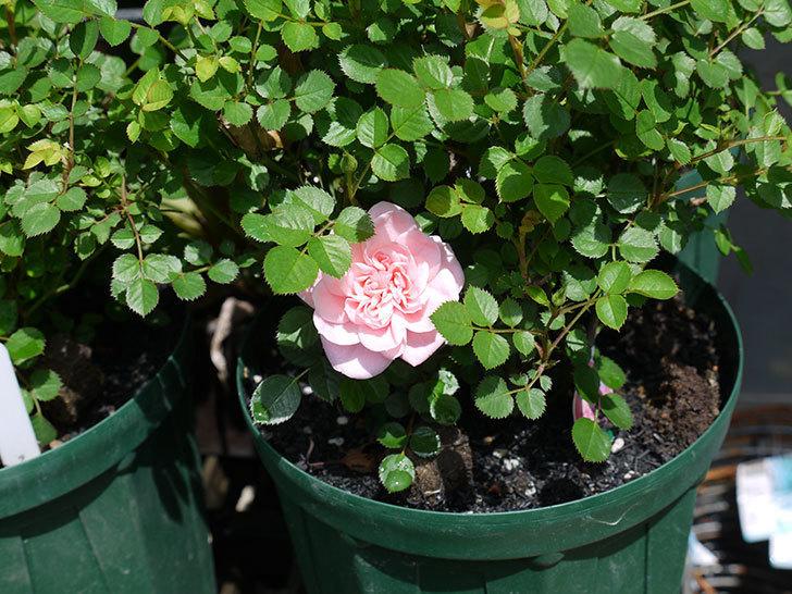 ミスピーチ姫(ミニバラ)の花が1個咲いた。2017年-3.jpg