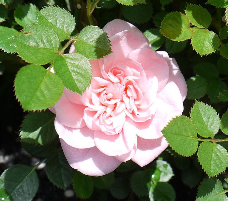 ミスピーチ姫(ミニバラ)の花が1個咲いた。2017年-4.jpg