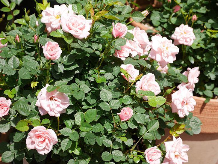 ミスピーチ姫(ミニバラ)の花がたくさん咲いた。2019年-11.jpg