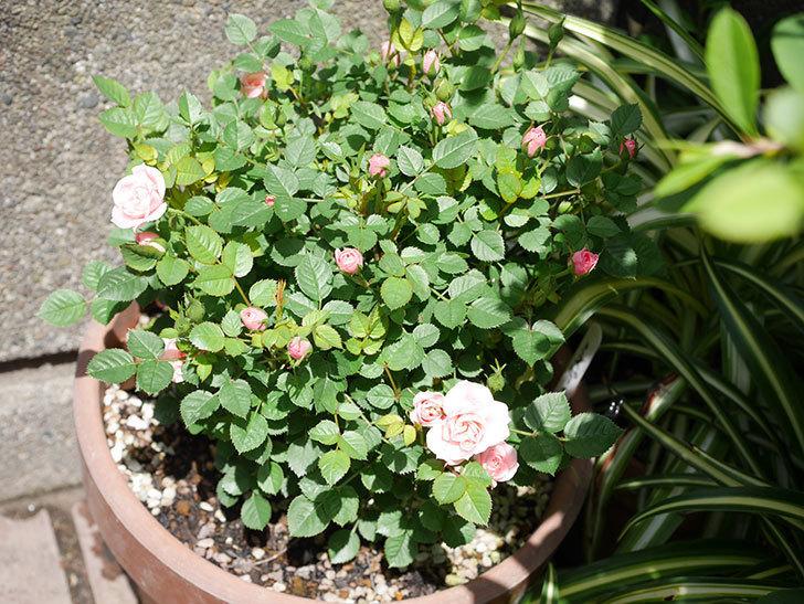 ミスピーチ姫(ミニバラ)の花がたくさん咲いた。2019年-13.jpg