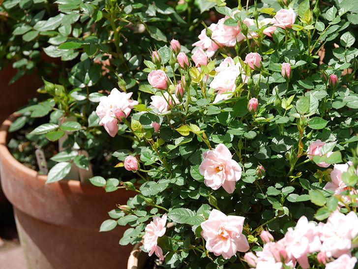 ミスピーチ姫(ミニバラ)の花がたくさん咲いた。2019年-14.jpg