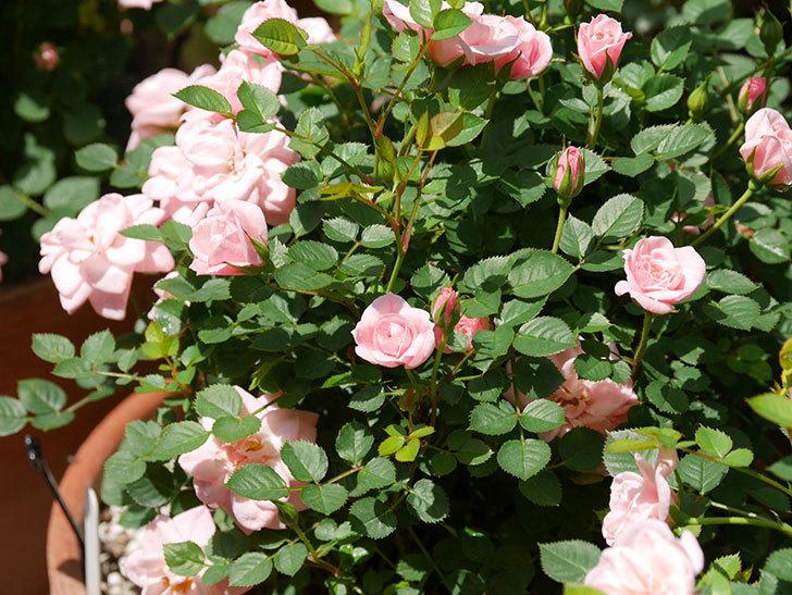 ミスピーチ姫(ミニバラ)の花がたくさん咲いた。2019年-16.jpg