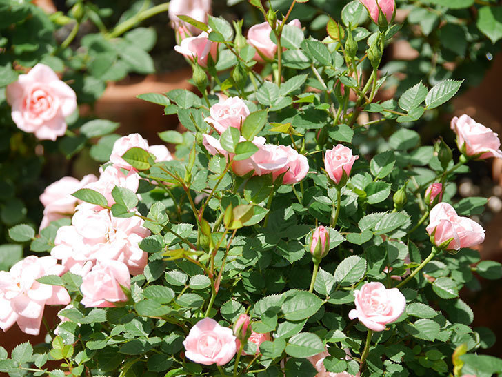 ミスピーチ姫(ミニバラ)の花がたくさん咲いた。2019年-17.jpg