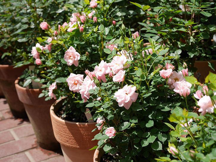 ミスピーチ姫(ミニバラ)の花がたくさん咲いた。2019年-4.jpg