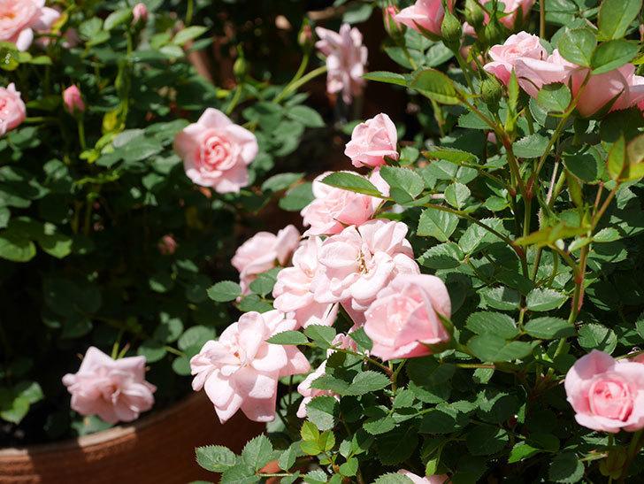 ミスピーチ姫(ミニバラ)の花がたくさん咲いた。2019年-5.jpg
