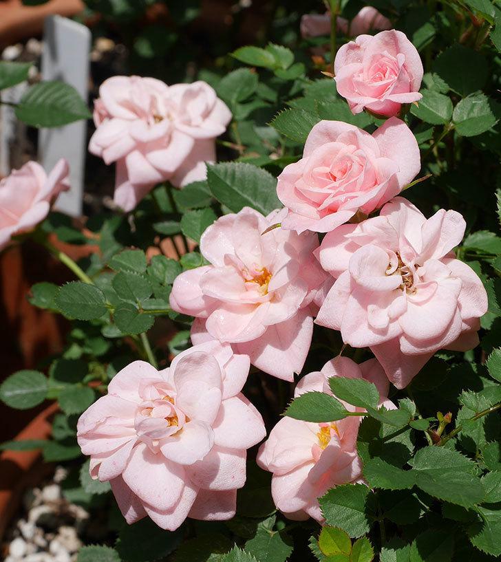 ミスピーチ姫(ミニバラ)の花がたくさん咲いた。2019年-6.jpg