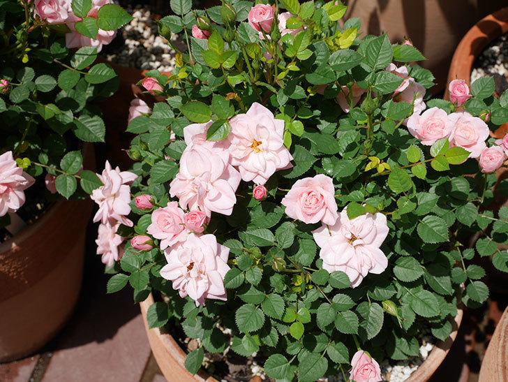 ミスピーチ姫(ミニバラ)の花がたくさん咲いた。2019年-7.jpg