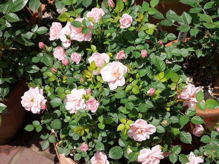 ミスピーチ姫(ミニバラ)の花がたくさん咲いた。2019年-8.jpg