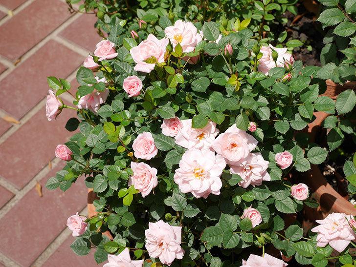 ミスピーチ姫(ミニバラ)の花がたくさん咲いた。2019年-9.jpg