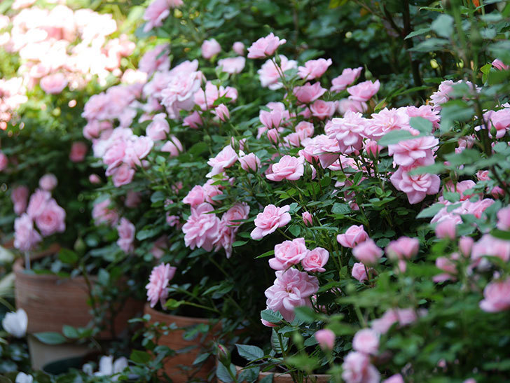 ミスピーチ姫(ミニバラ)の花がたくさん咲いた。2020年-1.jpg