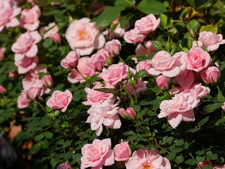 ミスピーチ姫(ミニバラ)の花がたくさん咲いた。2020年-10.jpg
