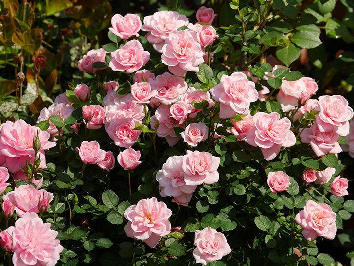 ミスピーチ姫(ミニバラ)の花がたくさん咲いた。2020年-12.jpg
