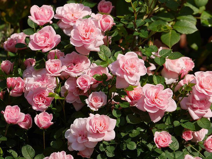 ミスピーチ姫(ミニバラ)の花がたくさん咲いた。2020年-13.jpg