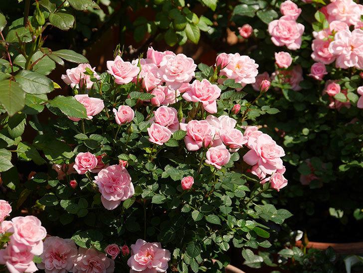 ミスピーチ姫(ミニバラ)の花がたくさん咲いた。2020年-14.jpg