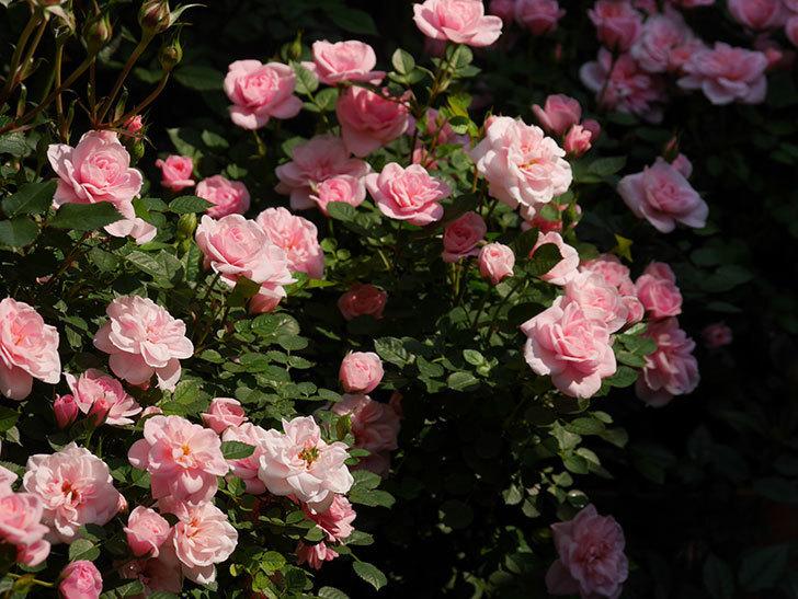 ミスピーチ姫(ミニバラ)の花がたくさん咲いた。2020年-15.jpg