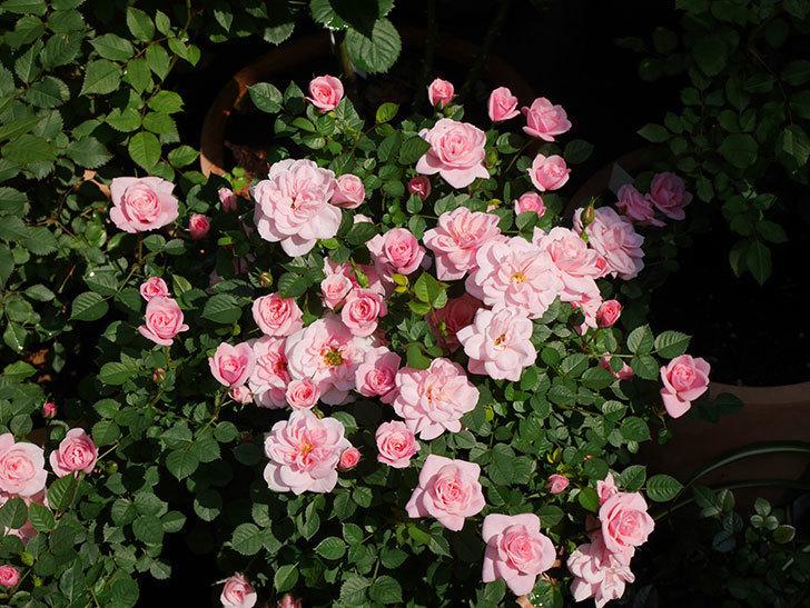 ミスピーチ姫(ミニバラ)の花がたくさん咲いた。2020年-16.jpg